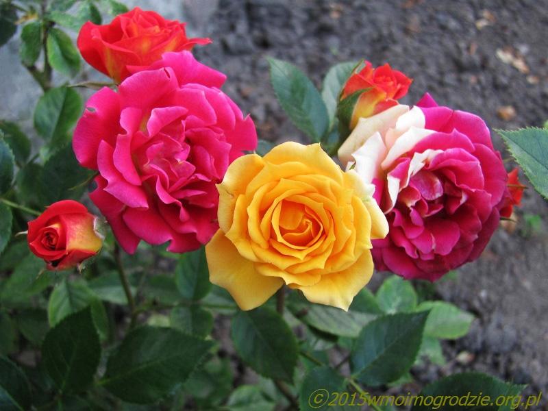 Chili clementine роза
